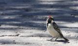 BIRD - BARBET - ACACIA PIED BARBET - TRICHOLAEMA LEUCOMELAS - ETOSHA NATIONAL PARK NAMIBIA (4).JPG