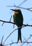 BIRD - BEE-EATER - SWALLOW-TAILED BEE-EATER - MEROPS HIRUNDINEUS - ETOSHA NATIONAL PARK NAMIBIA.JPG