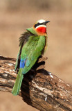 BIRD - BEE-EATER - WHITE-FRONTED BEE-EATER - IMFOLOZI NATIONAL PARK SOUTH AFRICA (4).JPG