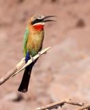 BIRD - BEE-EATER - WHITE-FRONTED BEE-EATER - MEROPS BULLOCKOIDES - CHOBE NATIONAL PARK BOTSWANA (11).JPG