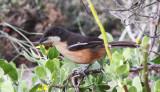 BIRD - BOUBOU - SOUTHERN BOUBOU - LANIARIUS FERRUGINEUS - DE HOOP RESERVE SOUTH AFRICA (2).JPG