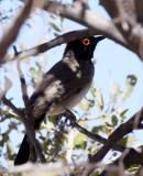 BIRD - BULBUL - AFRICAN RED-EYED BULBUL - PYCNONOTUS NIGRICANS - ETOSHA NATIONAL PARK NAMIBIA (4).JPG