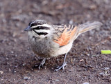 BIRD - BUNTING - CAPE BUNTING - EMBERIZA CAPENSIS - KAROO NATIONAL PARK SOUTH AFRICA.JPG