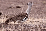 BIRD - BUSTARD - KORI BUSTARD - KRUGER NATIONAL PARK SOUTH AFRICA (19).JPG