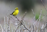 BIRD - CANARY - YELLOW CANARY - SERINUS FLAVIVENTRIS - WEST COAST NATIONAL PARK SOUTH AFRICA (2).JPG
