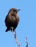 BIRD - CHAT - SOTHERN ANTEATING CHAT - MYRMECOCICHLA FORMICIVORA - ETOSHA NATIONAL PARK NAMIBIA (4).JPG