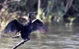 BIRD - CORMORANT - REED CORMORANT - PHALACROCORAX AFRICANUS - CHOBE NATIONAL PARK BOTSWANA.JPG