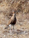 BIRD - COURSER - BURCHELL'S COURSER - CURSORIUS RUFUS - ETOSHA NATIONAL PARK NAMIBIA (10).JPG