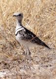 BIRD - COURSER - DOUBLE-BANDED COURSER - RHINOPTILUS AFRICANUS - ETOSHA NATIONAL PARK NAMIBIA (12).JPG