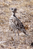 BIRD - COURSER - DOUBLE-BANDED COURSER - RHINOPTILUS AFRICANUS - ETOSHA NATIONAL PARK NAMIBIA.JPG