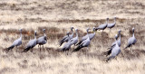 BIRD - CRANE - BLUE CRANE - KAROO NATIONAL PARK SOUTH AFRICA.JPG