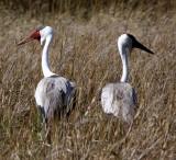 BIRD - CRANE - WATTLED CRANE - GRUS CARUNCULATUS - KHWAI CAMP OKAVANGO BOTSWANA (11).JPG