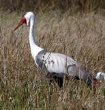BIRD - CRANE - WATTLED CRANE - GRUS CARUNCULATUS - KHWAI CAMP OKAVANGO BOTSWANA (6).JPG