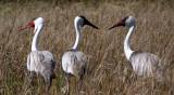 BIRD - CRANE - WATTLED CRANE - GRUS CARUNCULATUS - KHWAI CAMP OKAVANGO BOTSWANA (8).JPG