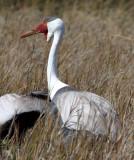 BIRD - CRANE - WATTLED CRANE - KHWAI CAMP OKAVANGO BOTSWANA (24).JPG