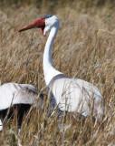 BIRD - CRANE - WATTLED CRANE - KHWAI CAMP OKAVANGO BOTSWANA (26).JPG