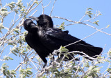 BIRD - CROW - CAPE OR BLACK CROW - CORVUS CAPENSIS - ETOSHA NATIONAL PARK NAMIBIA (10).JPG