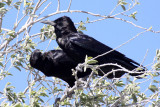 BIRD - CROW - CAPE OR BLACK CROW - CORVUS CAPENSIS - ETOSHA NATIONAL PARK NAMIBIA (4).JPG