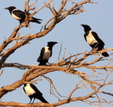 BIRD - CROW - PIED CROW - SOSSUSVLEI NAMIB NAUKLUFT NATIONAL PARK NAMIBIA.JPG