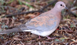 BIRD - DOVE - LAUGHING DOVE - KAROO NATIONAL PARK SOUTH AFRICA.JPG