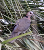 BIRD - DOVE - RED-EYED DOVE - SAINT LUCIA NATURE RESERVES SOUTH AFRICA (3).JPG