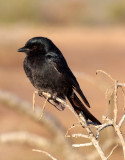 BIRD - DRONGO - FORK-TAILED DRONGO - IMFOLOZI NATIONAL PARK SOUTH AFRICA.JPG