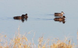 BIRD - DUCK - POCHARD - SOUTHERN POCHARD - WITH RED-BILLED TEAL - ETOSHA NATIONAL PARK NAMIBIA (4).JPG