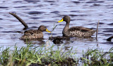 BIRD - DUCK - YELLOW-BILLED DUCK - SAINT LUCIA NATURE RESERVES SOUTH AFRICA.JPG
