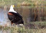 BIRD - EAGLE - AFRICAN FISH EAGLE - KHWAI CAMP OKAVANGO BOTSWANA (4).JPG