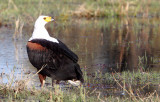 BIRD - EAGLE - AFRICAN FISH EAGLE - KHWAI CAMP OKAVANGO BOTSWANA.JPG
