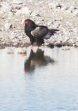 BIRD - EAGLE - BATELEUR - ETOSHA NATIONAL PARK NAMIBIA (16).JPG