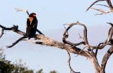 BIRD - EAGLE - BATELEUR - KHWAI CAMP OKAVANGO BOTSWANA (3).JPG
