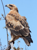 BIRD - EAGLE - TAWNY EAGLE - ETOSHA NATIONAL PARK NAMIBIA (12).JPG