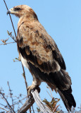 BIRD - EAGLE - TAWNY EAGLE - ETOSHA NATIONAL PARK NAMIBIA (8).JPG