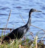 BIRD - EGRET - SLATY EGRET - EGRETTA VINACEIGULA - CHOBE NATIONAL PARK BOTSWANA (4).JPG