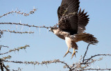 BIRD - FALCON - LANNER FALCON - FALCO BIARMICUS - ETOSHA NATIONAL PARK NAMIBIA (2).JPG