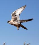 BIRD - FALCON - LANNER FALCON - FALCO BIARMICUS - ETOSHA NATIONAL PARK NAMIBIA (5).JPG