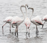 BIRD - FLAMINGO - GREATER FLAMINGO - WALVIS BAY NAMIBIA (38).JPG