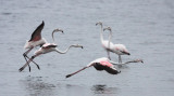 BIRD - FLAMINGO - GREATER FLAMINGO - WALVIS BAY NAMIBIA (53).JPG