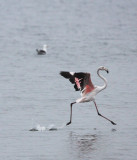 BIRD - FLAMINGO - GREATER FLAMINGO - WALVIS BAY NAMIBIA (59).JPG