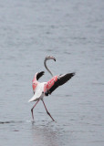 BIRD - FLAMINGO - GREATER FLAMINGO - WALVIS BAY NAMIBIA (63).JPG