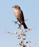 BIRD - FLYCATCHER - CHAT FLYCATCHER - BRADORNIS INFUSCATUS - ETOSHA NATIONAL PARK NAMIBIA (2).JPG