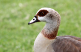 BIRD - GOOSE - EGYPTIAN GOOSE - CAPE TOWN ARBORETUM SOUTH AFRICA.JPG