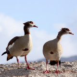 BIRD - GOOSE - EGYPTIAN GOOSE - TABLE MOUNTAIN NATIONAL PARK SOUTH AFRICA (5).JPG