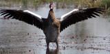 BIRD - GOOSE - SPUR-WINGED GOOSE - PLECTROPTERUS GAMBENSIS - KHWAI CAMP OKAVANGO BOTSWANA (2).JPG