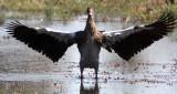 BIRD - GOOSE - SPUR-WINGED GOOSE - PLECTROPTERUS GAMBENSIS - KHWAI CAMP OKAVANGO BOTSWANA (6).JPG