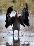 BIRD - GOOSE - SPUR-WINGED GOOSE - PLECTROPTERUS GAMBENSIS - KHWAI CAMP OKAVANGO BOTSWANA (8).JPG