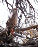 BIRD - GOSHAWK - SOUTHERN PALE CHANTING GOSHAWK - MELIERAX CANORUS - IMMATURE - KGALAGADI NATIONAL PARK RSA (4).JPG