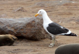 BIRD - GULL - CAPE OR KELP GULL - LARUS VETULA - CAPE CROSS NAMIBIA (6).JPG