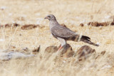 BIRD - HARRIER - PALLID HARRIER - CIRCUS MACROURUS - CHECK ID - ETOSHA NATIONAL PARK NAMIBIA.JPG